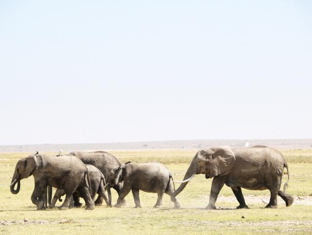 elephant safari amboseli
